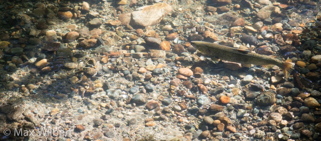 Chinook Salmon in Issaquah Creek