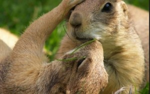 Campaign to Save the Castle Rock Prairie Dogs led by Deep Green Resistance Colorado